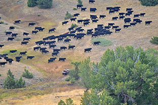 Gathering Cattle From Pasture Galt Ranch Thumbnail