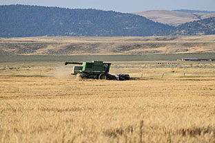 Wheat Harvest Galt Ranch Thumbnail