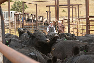 Working Cattle Loading Trucks Galt Ranch Thumbnail